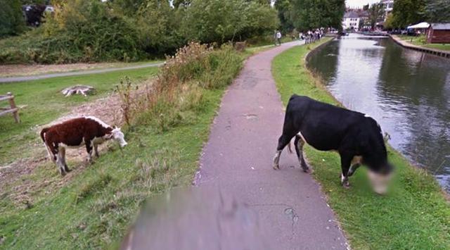 Google Street View mengaburkan wajah sapi yang tertangkap kamera (Twitter)