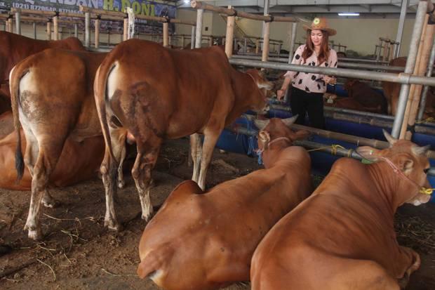 Perhimpunan Peternak Sapi dan Kerbau Indonesia (PPSKI) mengungkapkan, populasi sapi lokal saat ini semakin terkikis. Foto: Dok SindoPhoto