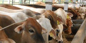 Upaya Pengendalian Penyakit Cacing Mata Pada Ternak Sapi