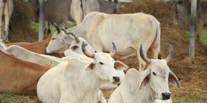 Dukung swasembada nasional, Sulteng larang penjualan sapi betina