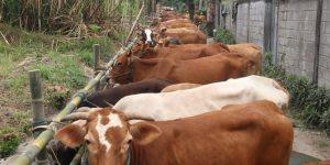 Puluhan sapi di Kediri ikuti 'apel' wajib bunting