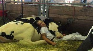 Gemas, Bocah Tertidur Kelelahan Sambil Peluk Sapi Kesayangan