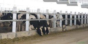 2017, PT Astra Agro Lestari kucurkan Rp 100 M kembangkan bisnis ternak sapi
