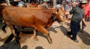 Banyak Peminat, Daging Sapi Asal Kupang Berbobot Besar