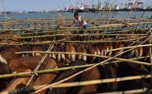 Wih, NTT Pasok 56.000 Sapi Potong ke Jakarta