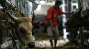 "Liputan6.com, Jakarta Kementerian Pertanian (Kementan) terus berupaya meningkatkan populasi sapi di dalam negeri. Salah satunya dengan melakukan kawin suntik atau Inseminasi Buatan (IB) pada sapi milik peternak di Kabupaten Malaka, Nusa Tenggara Timur (NTT). Direktur Jenderal Peternakan dan Kesehatan Hewan (PKH) Kementan I Ketut Diarmita mengatakan, pelaksanaan kegiatan IB massal di Kabupaten Malaka ini ditujukan agar sapi-sapi milik peternak menjadi bunting. ""Sehingga akan lahir pedet-pedet yang akan menambah populasi sapi di Kabupaten ini,"" kata dia di Jakarta, Jumat (13/10/2017). Menurutnya, Provinsi NTT merupakan salah satu produsen sapi potong yang mensuplai kebutuhan daging sapi di wilayah Jabodetabek. Namun dalam hal pelayanan IB, NTT merupakan salah satu daerah introduksi, yang sebagian besar wilayahnya baru diperkenalkan teknologi IB. Ketergantungan anakan hasil dari kawin alam masih sangat tinggi, karena hampir seluruh sistem pemeliharaan ternak sapi dan kerbau di NTT dengan cara dilepaskan. ""Hal ini perlu menjadi perhatian kita bersama, karena dengan sistem kawin alam yang tidak terprogram akan terjadi in breeding (kawin sedarah), sehingga terjadi penurunan mutu genetik pada ternak yang terlihat dari performans sapi-sapi yang lebih kecil,"" ungkap dia. Selain untuk meningkatkan mutu genetik ternak, lanjut Ketut, IB pada ternak sapi merupakan salah satu upaya penerapan teknologi tepat guna untuk peningkatan populasi. ""Melalui kegiatan IB, penyebaran bibit unggul ternak sapi dapat dilakukan dengan murah, mudah dan cepat, serta diharapkan dapat meningkatkan pendapatan para peternak,"" tutur dia. Berdasarkan data kumulatif pada periode Januari-Oktober 2017, capaian IB di Provinsi NTT sebesar 35.505 ekor atau 24,15 persen dari target 146.965 ekor. Sedangkan capaian kebuntingan ternak Provinsi NTT di angka 79.071 ekor atau 94,39 persen dari target 83.770 ekor yang berasal dari kawin alam. ""Capaian pelaksanaan IB di Provinsi NTT masih perlu menjadi perhatian besar"
