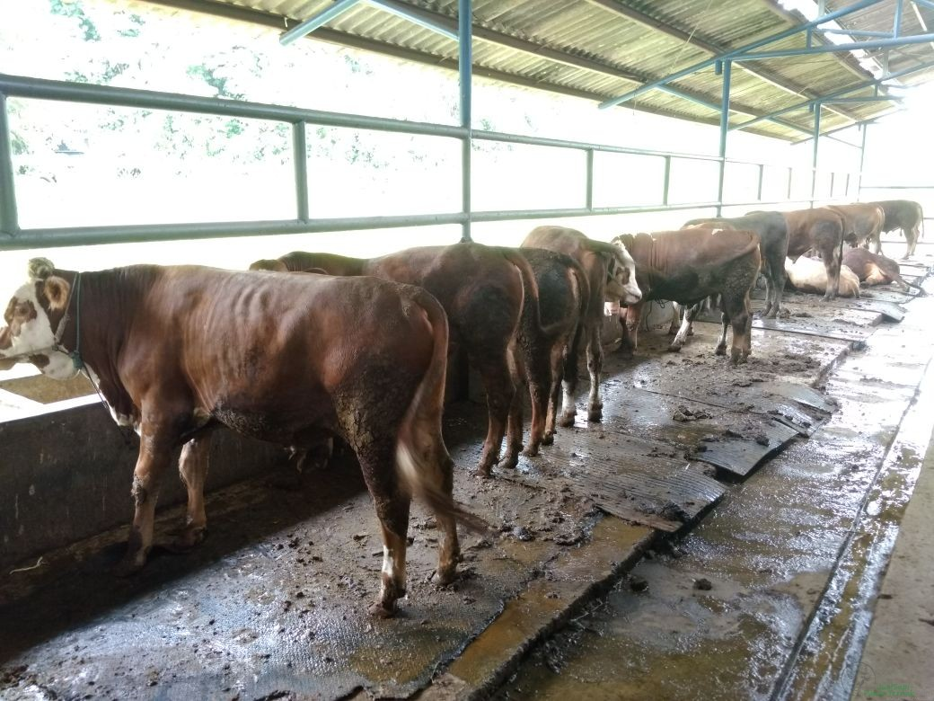 Sapi Bakalan, Sapi Bibit Lembu Mulyo
