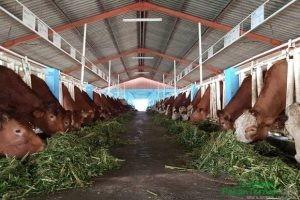 Indonesia Miliki Masa Depan Swasembada Daging Melalui Belgian Blue