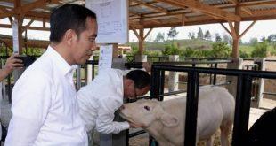Jokowi Tinjau Peternakan Sapi Belgian Blue di Sumatera Utara