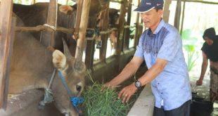 Lakukan Penggemukan Sapi Bali Pria Ini Sukses Makmurkan Peternak di Desanya