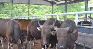 Ketiadaan Pakan Ternak Bikin Puluhan Sapi di NTT Mati
